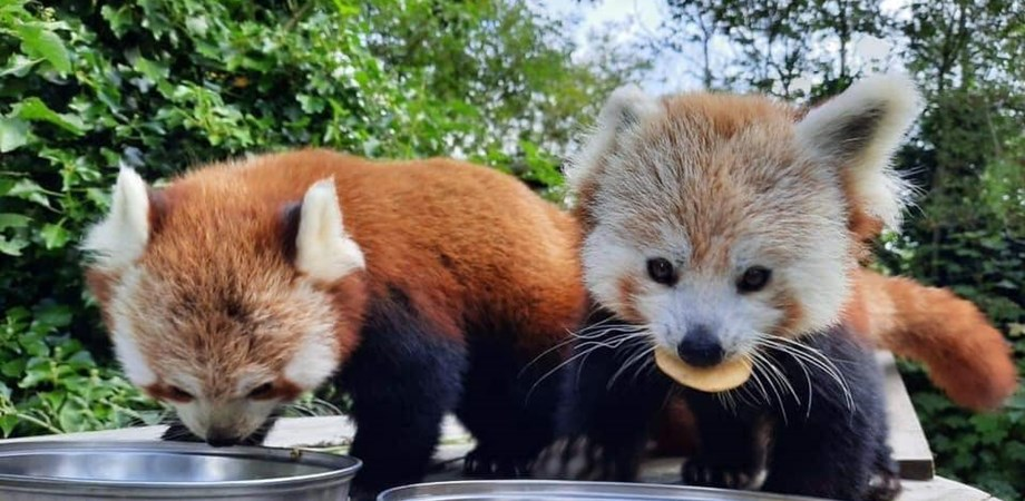A photo of two red pandas eating food